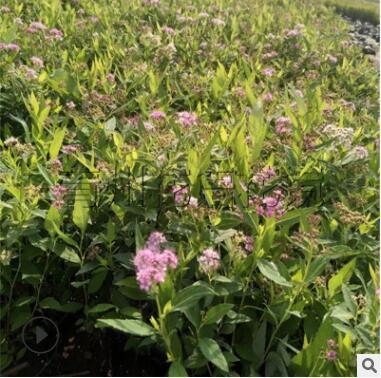 绿化工程绣线菊 盆栽金焰绣线菊质量上乘