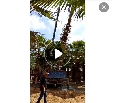 福建耐寒粗壮老人葵杆高1-9米,无病虫害,自家货源,农户价格