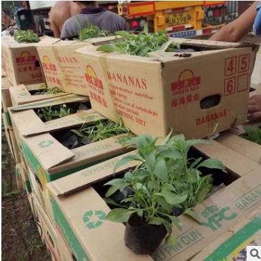 供应高品质鼠尾草 景观绿化用 青州基地直销