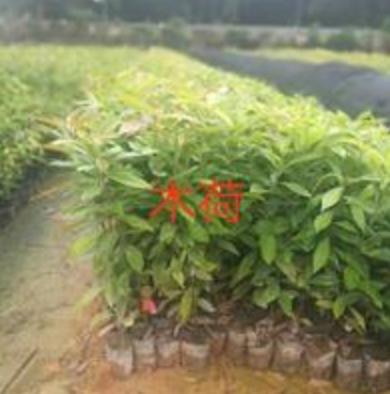 广州木荷小苗大量低价供应,木荷小苗价格优惠