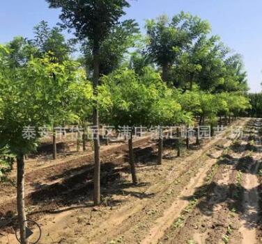 基地现有2公分以上1.2米杆金枝槐 2,5米定杆金枝槐
