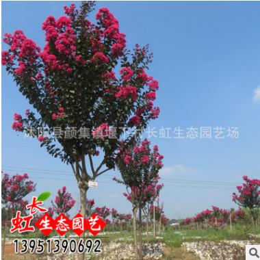 园林绿化苗木批发 正宗从生红花紫薇树苗 百日红 红火箭 红火球