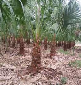 福建大量批发精品蒲葵杆高0.5-5米 自家货源 土地到期 价格便宜
