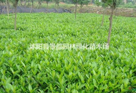 福建大量高质量蒲葵杆高1-2-3-4-5-6米土地到期 农户直销价
