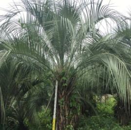 福建百亩精品布迪椰子批发杆高1米-2米-3米 一手货源 价格便宜