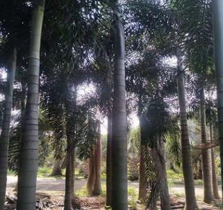 福建精品粗壮狐尾椰子杆高1-2-3-4米 土地到期 低价处理 成活率高