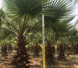福建粗壮老人葵杆高1-9米,800亩基地低价批发,成活率高