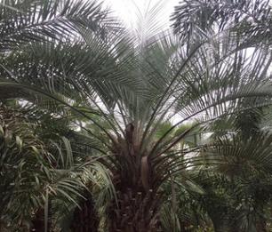 福建产地直销精品粗壮布迪椰子杆高0.5-3米,价格便宜,成活率高