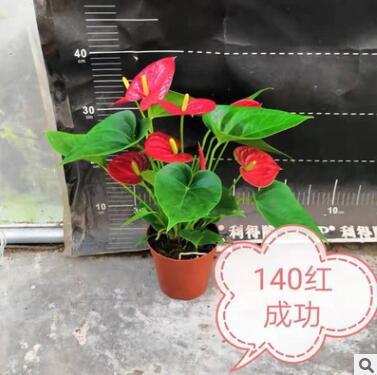基地直销红掌盆栽红成功小娇水培皇冠室内高档观花植物年宵花花卉