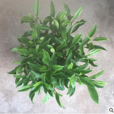 基地直销非洲茉莉盆栽阳台庭院观叶观花绿植耐养好养向阳植物