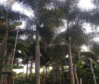 福建基地大量批发狐尾椰子杆高1-4米 杆径粗壮 价格便宜 成活率高