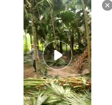 福建大量精品蒲葵杆高1-6米,土地到期,便宜处理