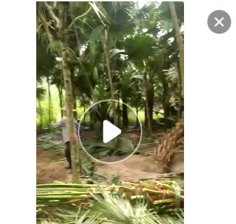 福建百亩精品蒲葵杆高1-6米,低价处理,自家货源,量大从优