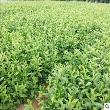 大叶栀子培育基地直销 盆栽球型灌木大叶栀子 绿化苗木栀子花