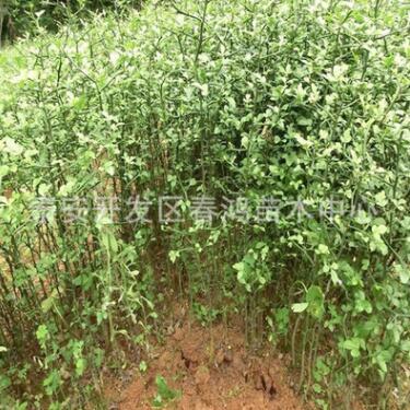 基地直销枸橘苗 出售枳壳树苗 绿篱灌丛枸橘苗