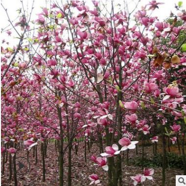 玉兰树苗绿化苗木行道点缀庭院观赏室内盆栽气味芳香净化空气玉兰