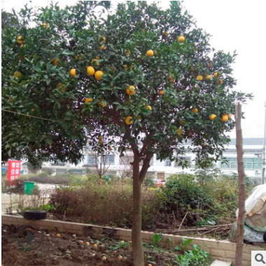 基地直销优质香泡园林绿化苗木香泡树批发规格齐全精品特价