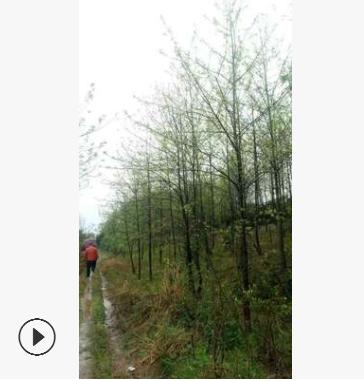 枫香 枫香树 行道树成活率高 枫香小苗 规格齐全品种齐全