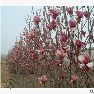 紫玉兰苗二乔玉兰树苗 红花玉兰绿化树庭院种植 精品特价基地直销
