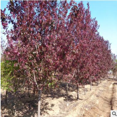 供应绿化苗木 直销红宝石海棠 冠幅好 树形优美