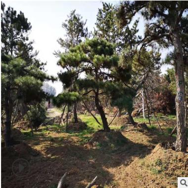 欢迎来基地考察选购景松 根系发达造型美观各种造型油松