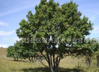 专业蒙古栎供应商常年出售多种规格蒙古栎 山东丛生蒙古栎多少钱$