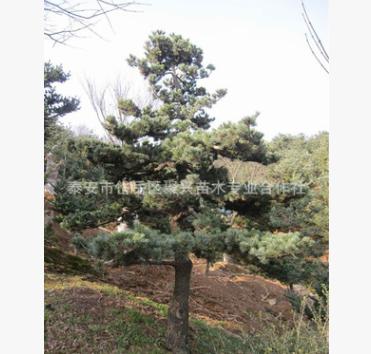 基地直销五针松苗 园林景观五针松苗 盆栽造型四季常青五针松苗$