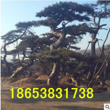 热销常绿性造型油松 各种规格造型油松 欢迎实地考察