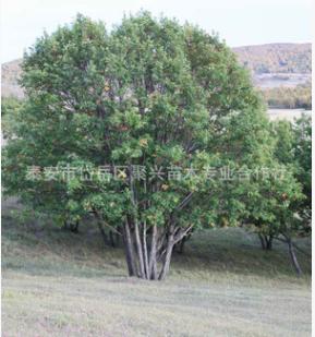 批发价直销蒙古栎 优良品种蒙古栎 精品丛生蒙古栎价格实惠