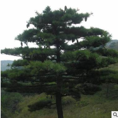 基地常年供应华山松 多年种植经验 根系发达易成活华山松