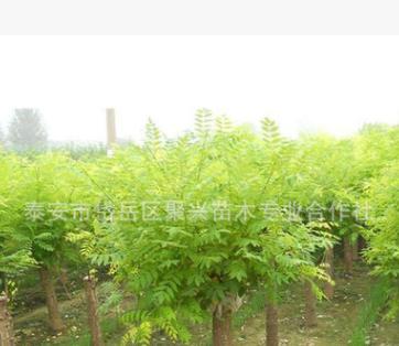 专业种植金叶槐 绿化风景苗木金叶槐 抗风性强金叶槐 量大优惠