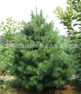 华山松种植基地热卖 品种纯正华山松 景观造型优美华山松