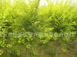 供应高杆金叶槐 包成活造型独特金叶槐 现货 道路绿化金叶槐