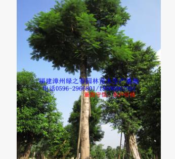 全冠特选精品大树 胸径50-80公分漳州凤凰木移植苗 福建红花楹