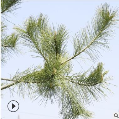 基地大量出售1-10米华山松 工程绿化用华山松 带土球发货华山松树