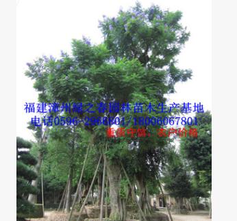 福建基地胸径30-80公分蓝花楹蓝雾树 精品A货漳州移植苗冠幅优美