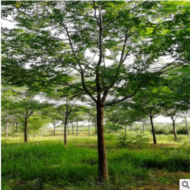苗木基地出售苦楝树 各种绿化树 绿化乔木 大型绿化树 易成活好栽