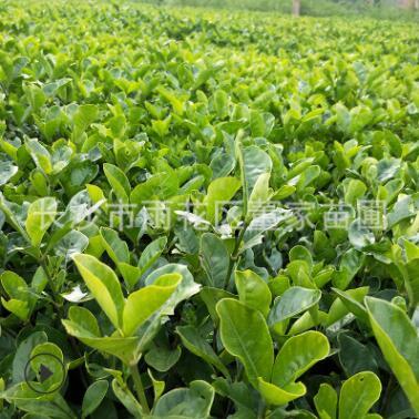 批发大叶栀子花小苗 工程绿化用大叶栀子地苗 花朵大 四季常青