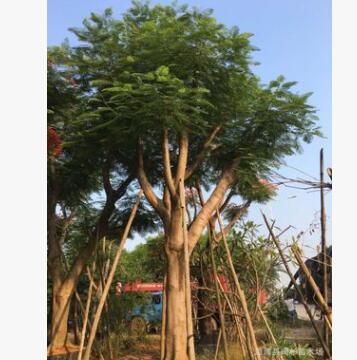 福建精品凤凰木,凤凰木移植苗袋苗基地 全冠凤凰木 精品红花楹