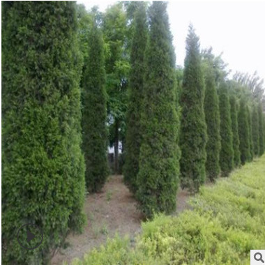 基地直销蜀桧树苗 大量供应绿化苗木 低价直销蜀桧树苗精品特价