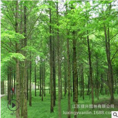 红叶白腊小苗批发彩色绿篱金叶白蜡树苗 行道风景工程绿化苗木