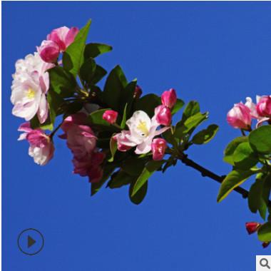 直销海棠树苗 垂丝海棠 西府海棠 盆栽庭院开花植物 北美海棠树苗