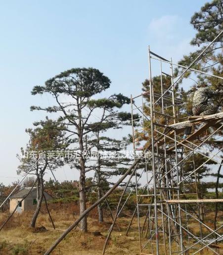 山东莱芜优质造型油松批发/油松盆景供应
