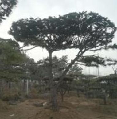 山东莱芜低价供应造型油松,造型油松市场行情