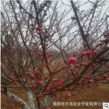 基地直销梅花树 红梅 腊梅 美人梅 园林绿化