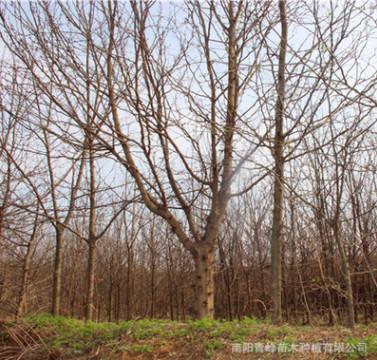 批发河南皂荚树/皂角树/大型皂荚树/量大从优