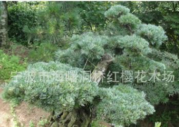 特殊造型五针松,可盆栽、庭院美化种植