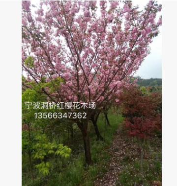 供应樱花树、日本樱花、晚樱、早樱 3-28公分,绿化苗木