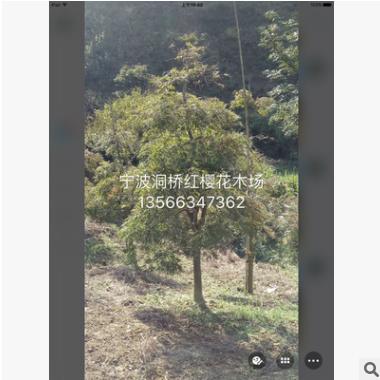造型羽毛枫树苗、羽毛枫、鸡爪槭风景绿化苗木