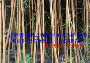 批发福建小琴丝竹地径1-5公分高1-5米 漳州基地农户价格清场出售